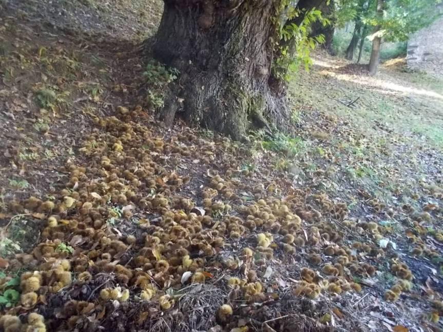 """i CASTAGNI di FONTANE (comune di Frabosa Soprana, provincia di Cuneo) in fase di """"foliage"""""""